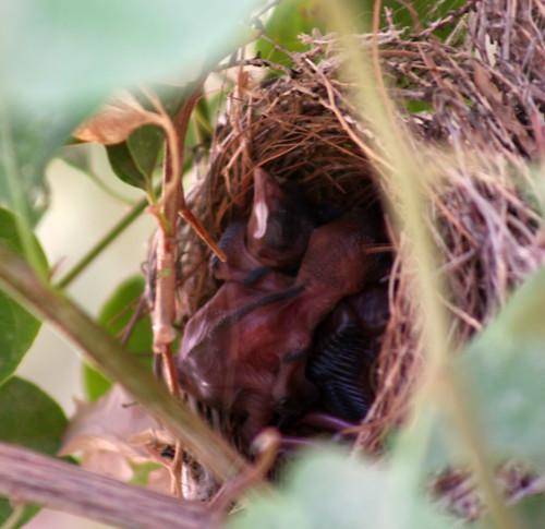 Black-headed bulbulb chicks in their nest
