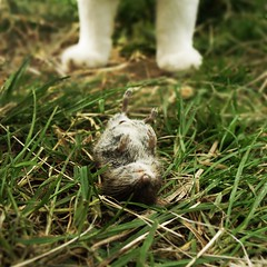 whoever could possibly have been responsible? (jamesmorton) Tags: grass cat dead killed bankvole clethrionomysglareolus