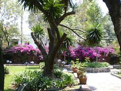 San Jacinto Church in San Angel (sftrajan) Tags: mxico garden mexico mexicocity jardin bougainvillea mexique mexiko distritofederal ciudaddemxico chilangolandia sanngel sanjacintochurch