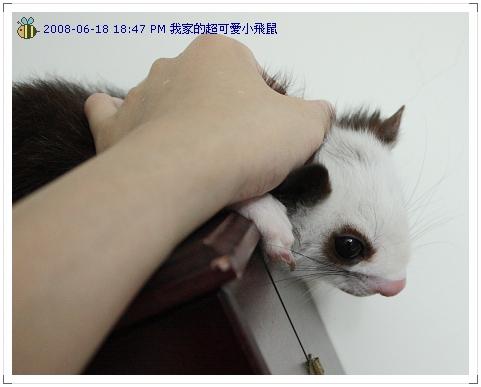 可愛小飛鼠 (3)