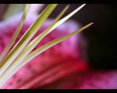 lrio/lily (helenabraga) Tags: pink lily searchthebest lrio soe blueribbonwinner mywinners abigfave helenabraga aplusphoto goldenphotographeraward theunforgettablepictures goldstaraward ourmasterpieces