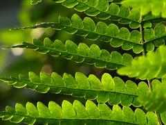 backlighting with fern