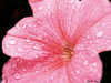 Dopo la pioggia.... (PiccolaTerry) Tags: pink flower roma macro rain drops rosa fiore supermacro pioggia gocce naturesfinest fantasticflower abigfave theunforgettablepictures macromarvels goldstaraward natureselegantshots bestflickrphotography theperfectpinkdiamond