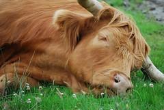 Sleepy Coo (Elizabeth MacDonald (BIF1)) Tags: animal cow milk beef highland catle