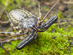 Tailess whip scorpion (mantidboy) Tags: pet female bug giant spider arachnid creepy scorpion exotic whip claws pincers crawly pincer tanzanian tailless crawlie scorp tailess chelicera spectacularmacro notyournormalbug