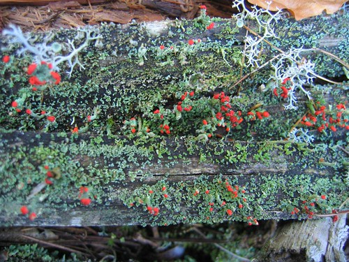 Lichen on a dead tree