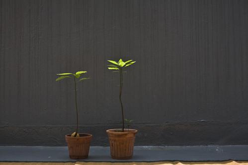 my avocado plants