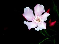 Hoa (JannaPham) Tags: holiday flower vietnam artcafe golddragon platinumphoto ysplix theunforgettablepictures overtheexcellence goldstaraward damniwishidtakenthat worldglobalaward globalworldawards jannapham artcafedomidoexhibitionscomein