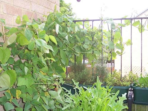 The Runner Bean plant