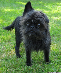 20060616 Black Affenpinscher | Gothenburg, Sweden (ratexla) Tags: summer favorite dog pet pets black cute dogs grass animal animals gteborg europe sweden gothenburg adorable 2006 hund sverige asymmetry animalplanet goteborg affie asymmetric hundar nonhumananimals affenpinscher ggggg canislupusfamiliaris affy 16jun2006 nonhumananimal ratexla photosbyjosefinestenudd photophotospicturepicturesimageimagesfotofotonbildbilder theeternityset