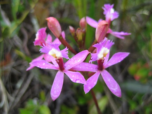 Inca Trail Orchid