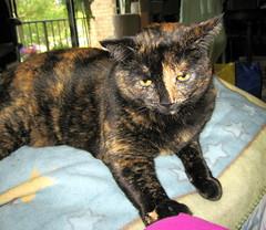 Am I awake? (Joana Rojas - still here) Tags: cats tortoiseshell pensive catnaps oscarsurrealeous