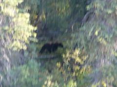 Oso negro al lado de la ruta, la foto esta toda movida pero fue nuestro primer oso desde las bicis