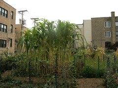 Corn in Community Garden