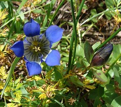 Blue gentian flower