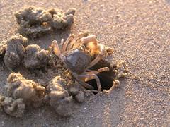 Digger crab