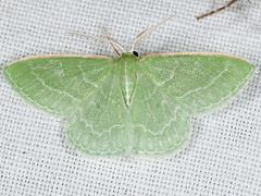 Synchlora aerata 20080709_1509 (GORGEous nature) Tags: washington moth july lepidoptera geometridae synchlora synchloraaerata geometrinae klickitatco synchlorini mona7058 rockcreekbridge bickletonhwy ©johndavis