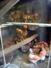 New hens