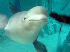 Yulka (Olaya Garcia) Tags: valencia beluga artico oceanografico yulka
