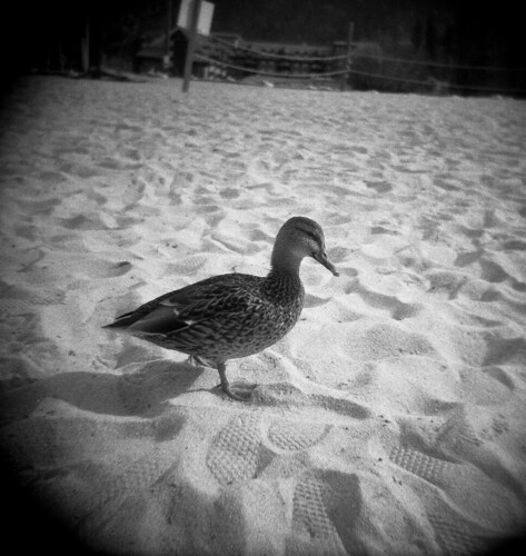 Lake Tahoe Duck #1