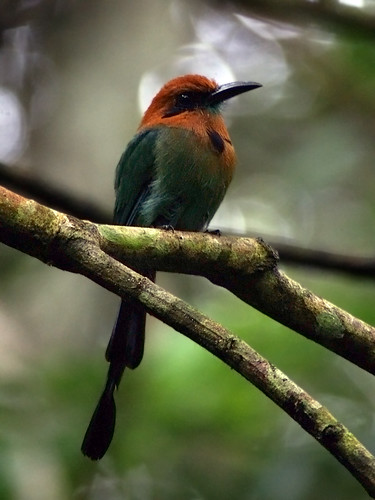 Broad-billed Motmot (Electron platyrhynchum) by kookr.
