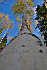 "resting aspens (Matt ""Linus"" Ottosen) Tags: ranch autumn fall yellow utah cabin raw pines single aspen hdr photomatix pinesranch singleraw"