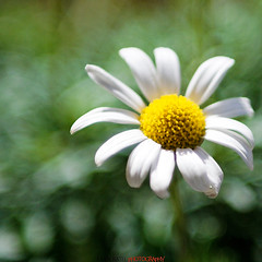 Flower in the sun (Julien Ratel ( Jll Jnsson )) Tags: white blur flower green fleur yellow jaune grenoble canon square dof bokeh vert best depthoffield format hugs marguerite blanc flou vegetal carr naturesfinest 2470f28 bisous profondeurdechamp 40d abigfave platinumphoto colorphotoaward theunforgettablepictures platinumheartawards theperfectphotographer abigfavr julienratel damniwishidtakenthat magicdonkeysbest julienratelphotography vosplusbellesphotos goldenart carrfranais carrfrancais