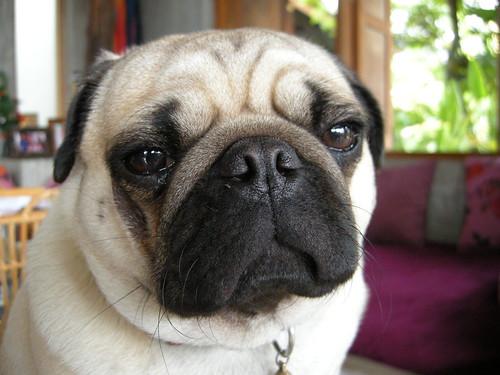 หมาปั๊กที่รีสอร์ท หน้าตาได้อารมณ์มาก