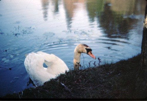Sheffield Park Swan