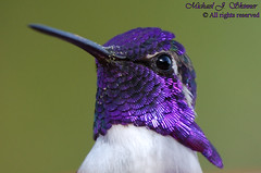 Costa's Hummingbird (Calypte costae) (gatespassbear) Tags: hummingbird bird animal nature wildlife tucson arizona yard sonoran color purple iridescent impressedbeauty specanimal explore treeofhonor naturesfinest naturescall naturethroughthelens iridescence birdwatcher