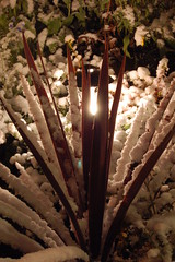 Flax in snow at night