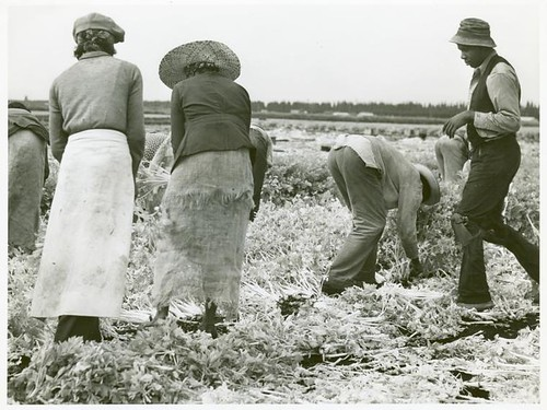 Migratory laborers cutting celery,  Belle Glade,  Florida,  Jan...