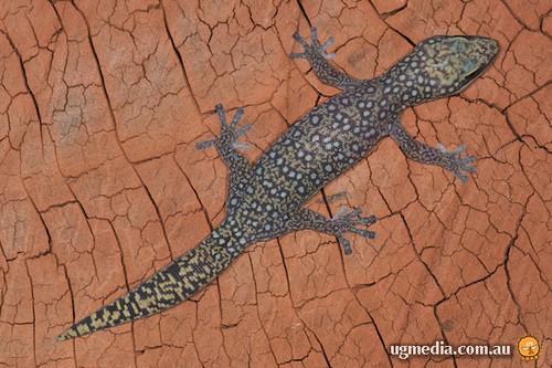 Southern spotted velvet gecko (Oedura tryoni)
