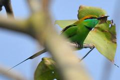 Green Bee-eater (nurur) Tags: green bird dam bangladesh feni beeeater greenbeeeater muhuri nurur muhuridam muhuririver