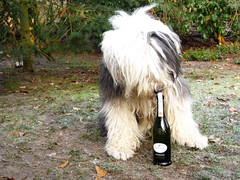 Empty ? (dewollewei) Tags: chien dogs champagne perro botlle bobtail oes oldenglishsheepdog