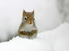 Up to our elbows in snow! (Nancy Rose) Tags: winter snow cute nature squirrel freshsnow naturesfinest mybackdeck wildilfe itsnowedalldaytoday vosplusbellesphotos wehadablizzardlastnight