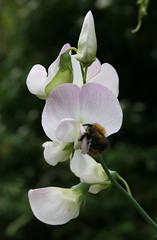 Sweet Pea & bee (Hui-Imm) Tags: flowers bee sweetpea