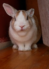 What u lookin at?? (delly17) Tags: orange white cute rabbit bunny dutch mouth nose furry funny adorable ears sit stare paws