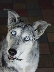 Kali Girl (k9luv) Tags: rescue dog kali blueeyes canine bluemerle
