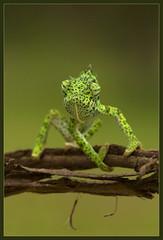 Karma Chameleon (hvhe1) Tags: africa nature animal southafrica bravo wildlife chameleon timbavati naturesfinest tandatula specanimal hvhe1 hennievanheerden specanimalphotooftheday vosplusbellesphotos