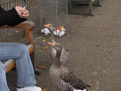 Hey lady, spare a smoke? (Ducklover Bonnie) Tags: geese great smoking stjamesspark naturesfinest supershot isbadforyou honkies anawesomeshot img8743 goldstaraward londonisfullofsmokers humanandapparentlynonaswell