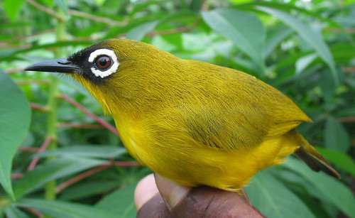 The Splendid (Ranongga) White-eye (GrrlScientist)