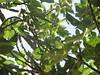 تينات الخليل (HanadiTalk) Tags: جمال طبيعة ربيع صيف شجر فواكه تين الخليل كروم