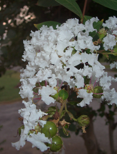 Unknown Flowering Shrub