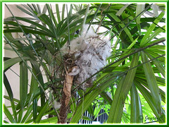 Unsuccessful attempt at nest-building by Pycnonotus goiavier (Yellow-vented Bulbul) on our Lady Palm trees