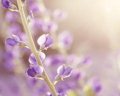 Shine on Me. (CarolynsHope) Tags: pink flowers light sun flower spring pretty purple feminine pastel sunny romantic carolynshope