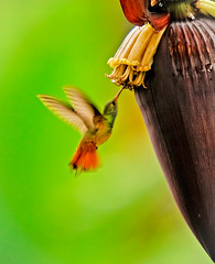 Back to life... (hvreflections) Tags: life naturaleza flower bird love me latinamerica nature beauty mxico wonderful wonder nikon energy hummingbird miracle amor bigma alma yo flor sigma banana vida ave return soul annie nectar essence regreso veracruz jpeg belleza milagro esencia colibr pltano thebeginning amricalatina maravilla xico bananaflower sigma50500 energa maravilloso floweroflife backtolife elcomienzo flordevida nikond300 flordepltano flordebanano regresoalavida