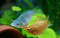 The Couple (Spice  Trying to Catch Up!) Tags: camera orange pet white fish color male green art beautiful japan female canon geotagged asian photography eos aquarium photo amazing interesting kiss asia flickr colours image photos wordpress creative picture vivid blogger molly livejournal explore photographs photograph collections  safe portfolio vox dslr mate  gettyimages  facebook friendster multiply larawan    supershot twitter colorpicture creativeimages colorimages digitalx  twitpic