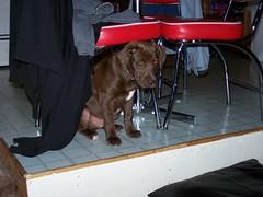 Random Dog Pix (bonkrood) Tags: jinx cobie chorkie labterriercross