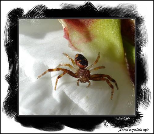 Araña napoleón roja